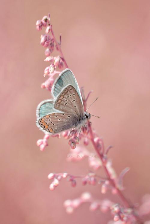 rose-quartz-serenity