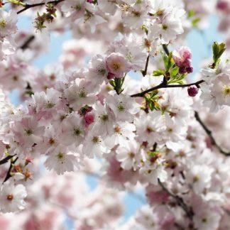 Fototapet Flori de Cires - Primavara - Catalog