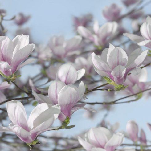 Fototapet Magnolii Inflorirea Magnoliilor 8-738