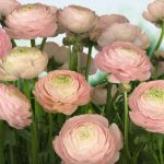 8-894_gentle_rose_web