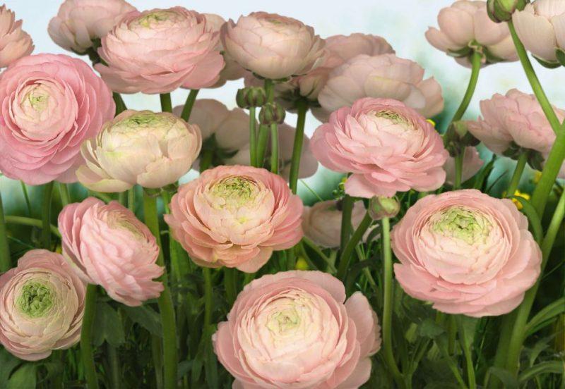 Fototapet Floral Trandafiri Delicati