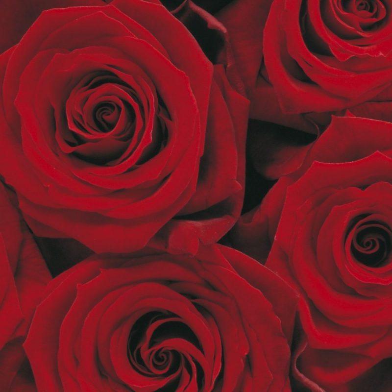 Fototapet Floral Explozie de trandafiri rosii detaliu