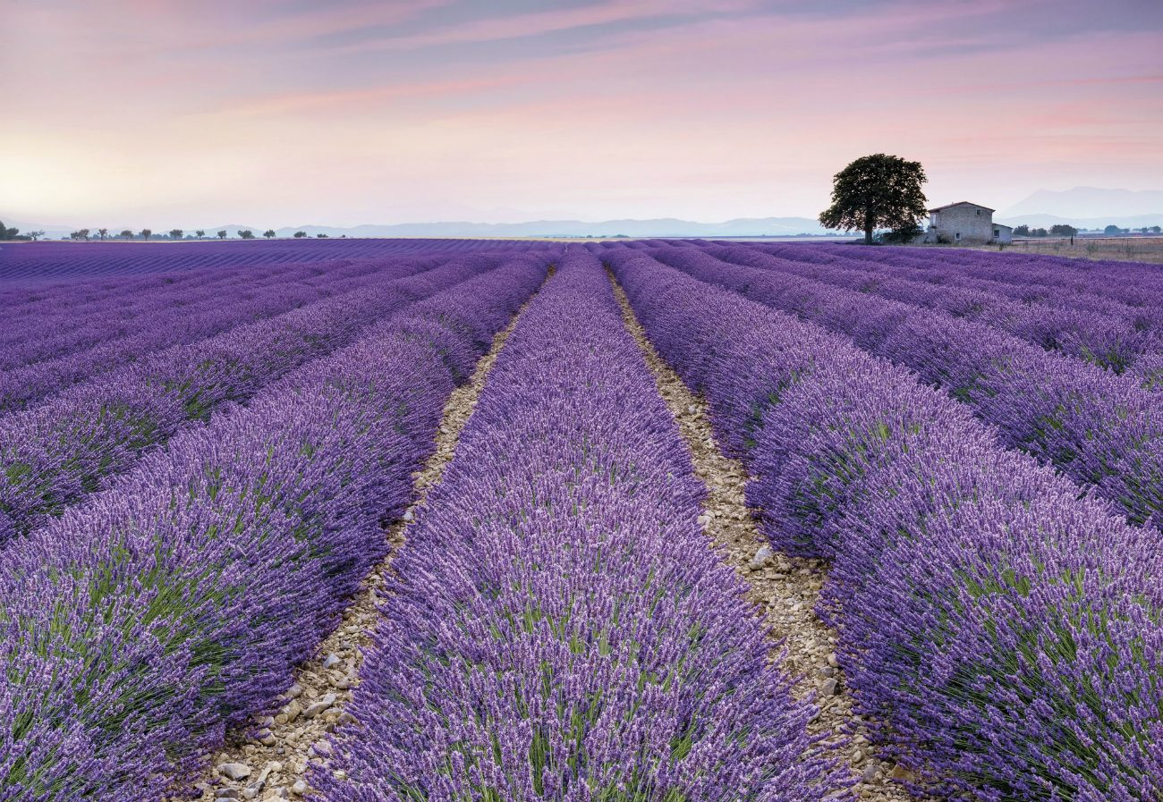 Fototpet Flori Lavanda Provence XXL4-036