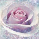 Fototapet Trandafir Delicat Vlies