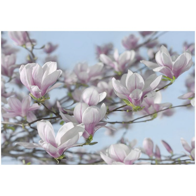 Fototapet magnolii roz delicate