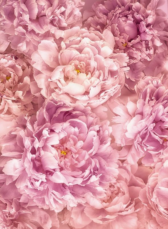 Flowers Photomural Suave Peonies Vlies