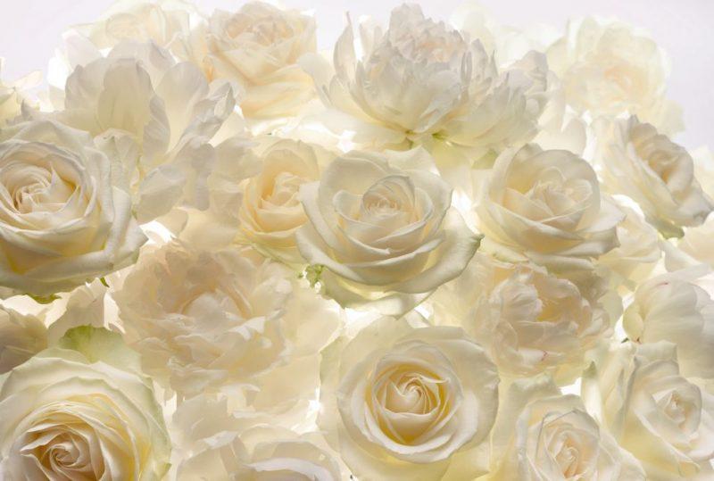 Fototapet trandafiri albi - Catalog