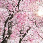 Fototapet Floral - Inflorirea Ciresilor Vlies