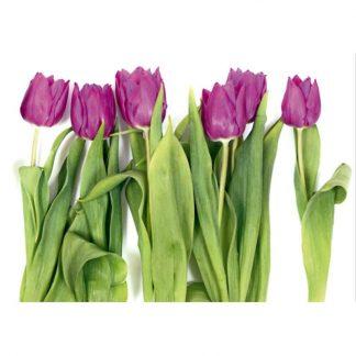 Fototapet lalele violet