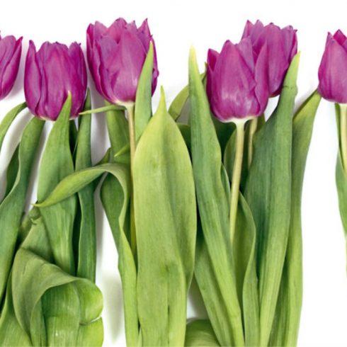 Fototapet Lalele Violet - Catalog
