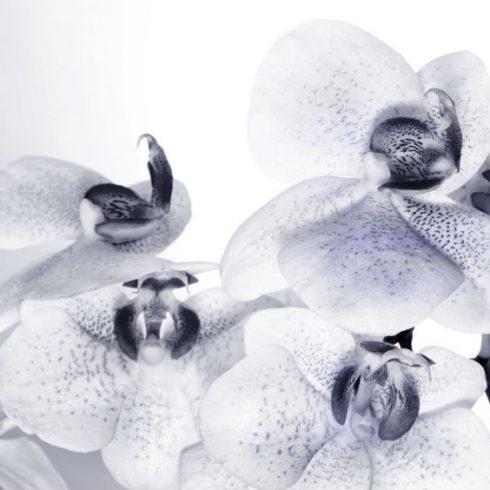 Fototapet Orhidee Alb Negru