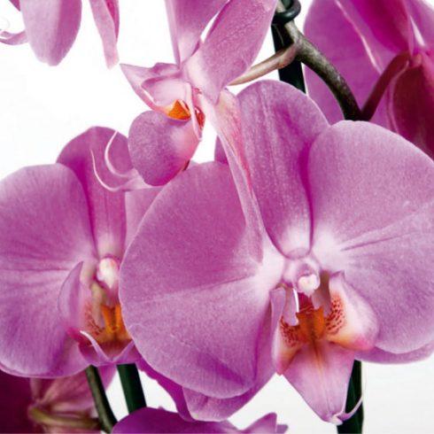 Fototapet Orhidee Violet - Catalog