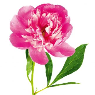 Sticker Perete Floare de Bujor Detaliu
