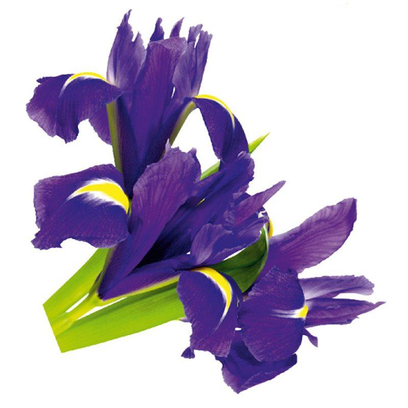Sticker Perete Flori de Iris Violet