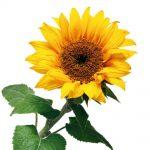 ticker decorativ Floarea Soarelui Detaliu