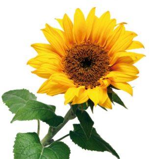 Sticker decorativ Floarea Soarelui Detaliu